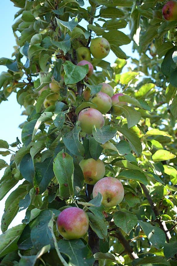 En filial av ett columnar äppleträd med frukter royaltyfri foto