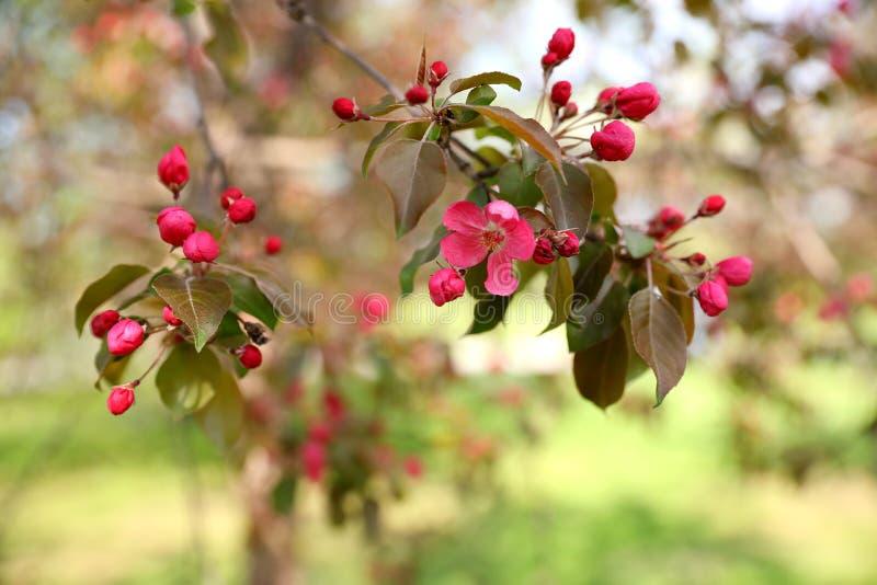 En filial av ett rosa äppleträd med en blomma och knoppar, i parkerar royaltyfria foton