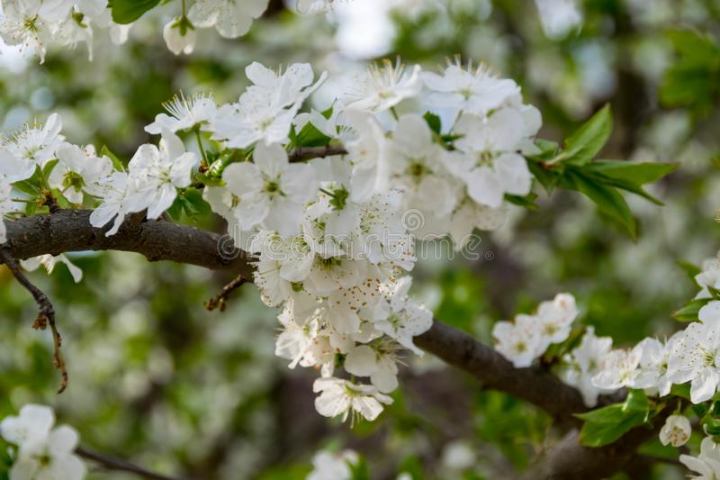 En filial av ett tr?d med den vita blomningen royaltyfri foto