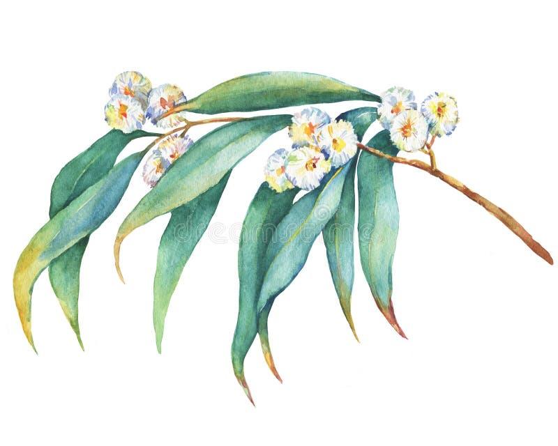 En filial av eukalyptusmelliodorablommor, planterar också bekant, som gult, boxas gummi stock illustrationer