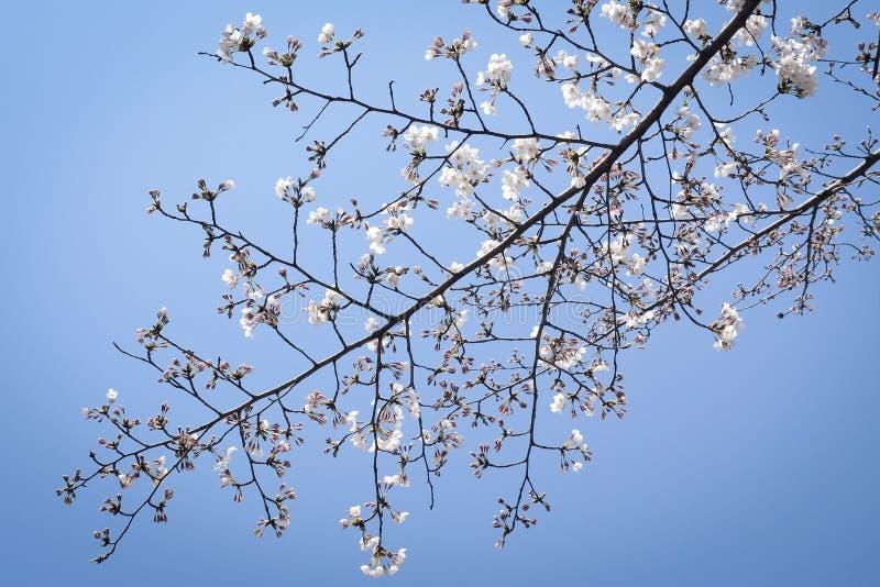 En filial av japan Cherry Blossoms royaltyfria foton