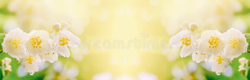 En filial av jasmin blommar med regndroppar i mjukt solljus royaltyfri foto