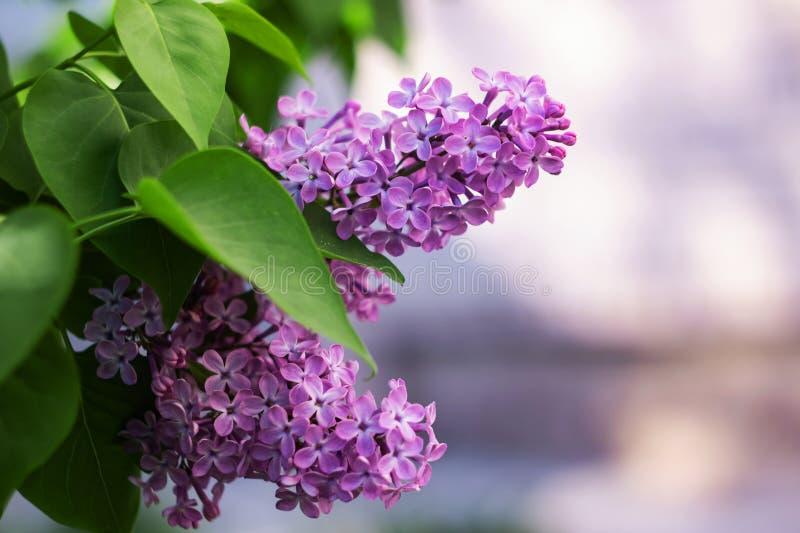 En filial av lilor med blommor st?nger sig upp royaltyfri foto