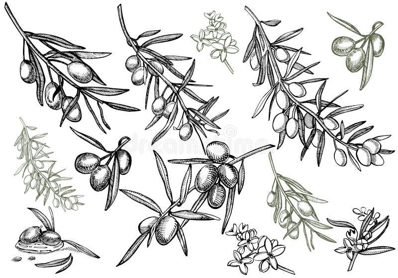 En filial av mogna oliv är saftigt som hälls med olja Design för bondemarknadsmeny Affisch för organisk mat tecknad handtappning stock illustrationer