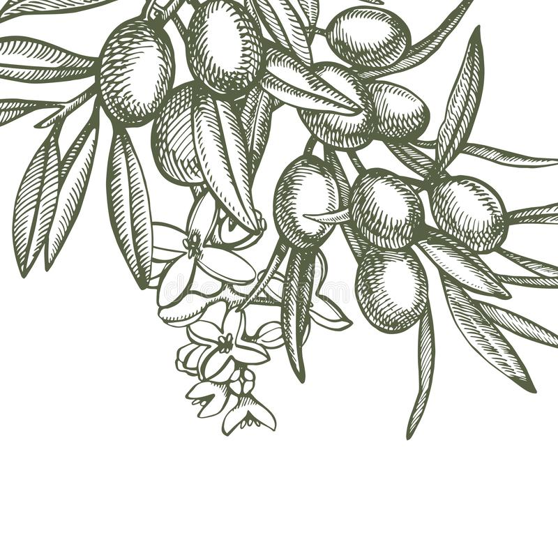 En filial av mogna oliv ?r saftigt som h?lls med olja Design f?r bondemarknadsmeny Affisch f?r organisk mat tecknad handtappning vektor illustrationer