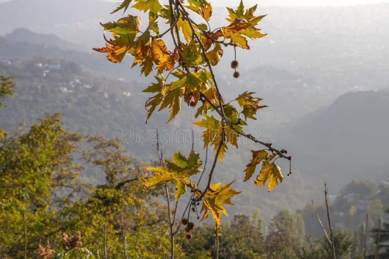 En filial av en platan med sidor och frukter för höst gula royaltyfri bild