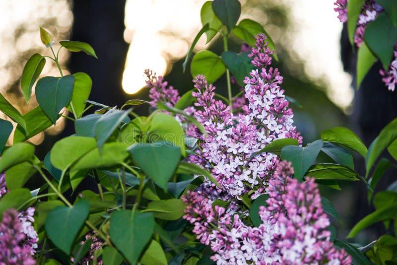 En filial av siren på ett träd i en parkera Härliga blommor av det lila trädet på våren Bakgrund arkivfoton