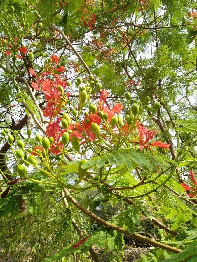 En filial för högväxt träd mycket av röda blommor, gräsplan slår ut och sidor royaltyfri foto