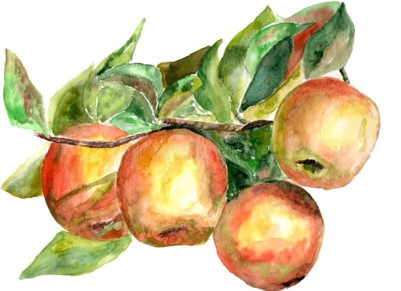 En filial med äpplen som målas med vattenfärger på papper vektor illustrationer