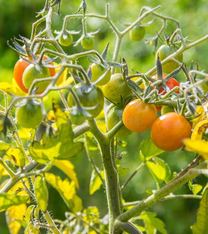 En filial med små mognande tomater som tänds av solen royaltyfri foto