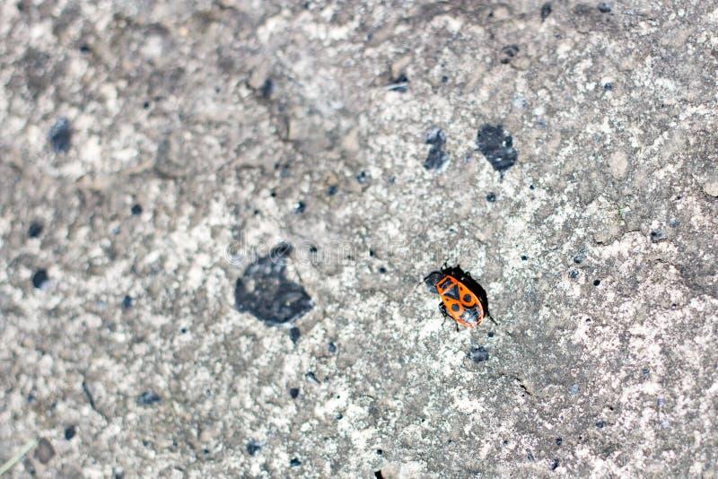 En firebug på en sten royaltyfri foto