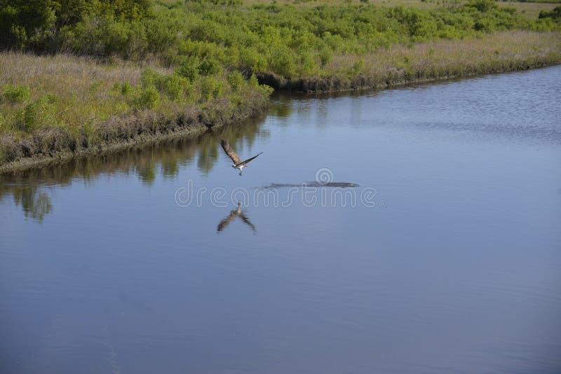En fiskgjuse fångar fisk ibland två under en dyk i vattenvägen arkivfoto