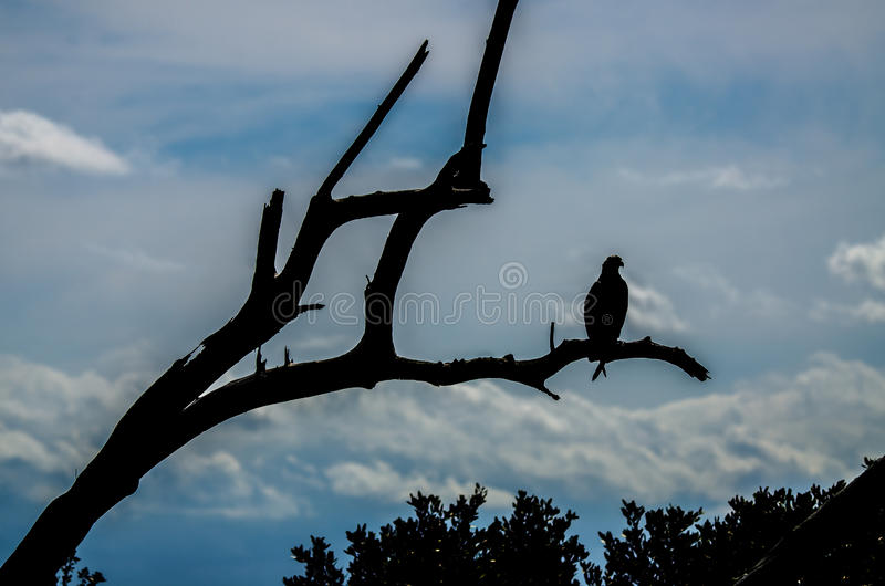 En fiskgjuse i kontur mot en blå molnig himmel royaltyfria foton