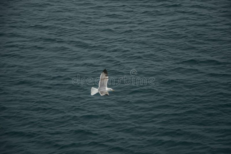 En fiskmås som undersöker havet fotografering för bildbyråer
