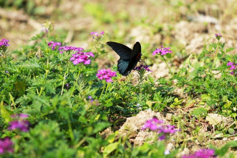 En fjäril fladdrade bland blommorna royaltyfri fotografi