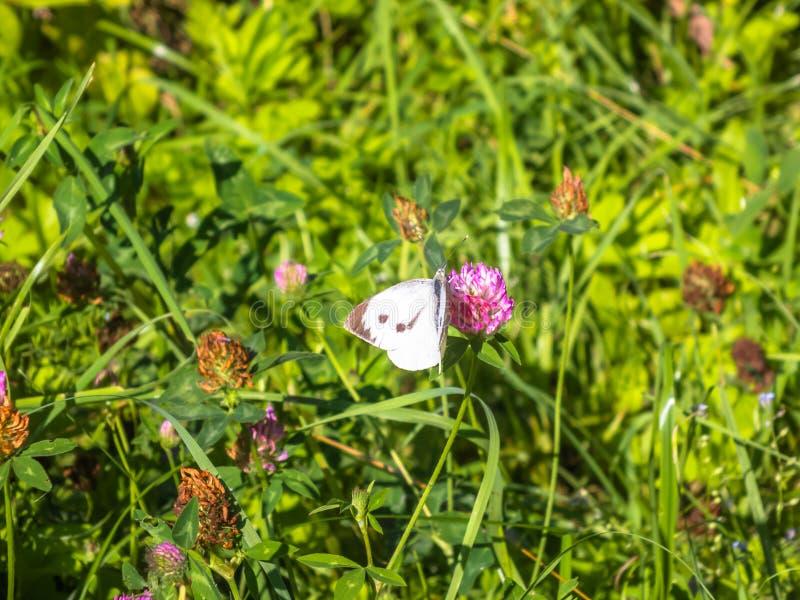 En fjäril gör något med blommor royaltyfri bild