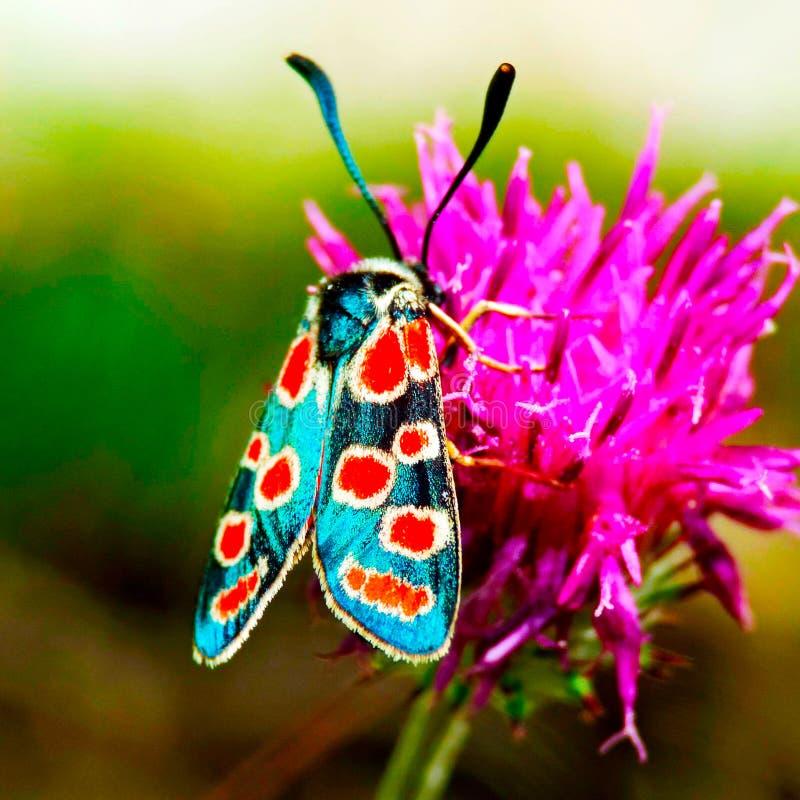 En fjäril med blåa vingar sitter på en tistel arkivfoto