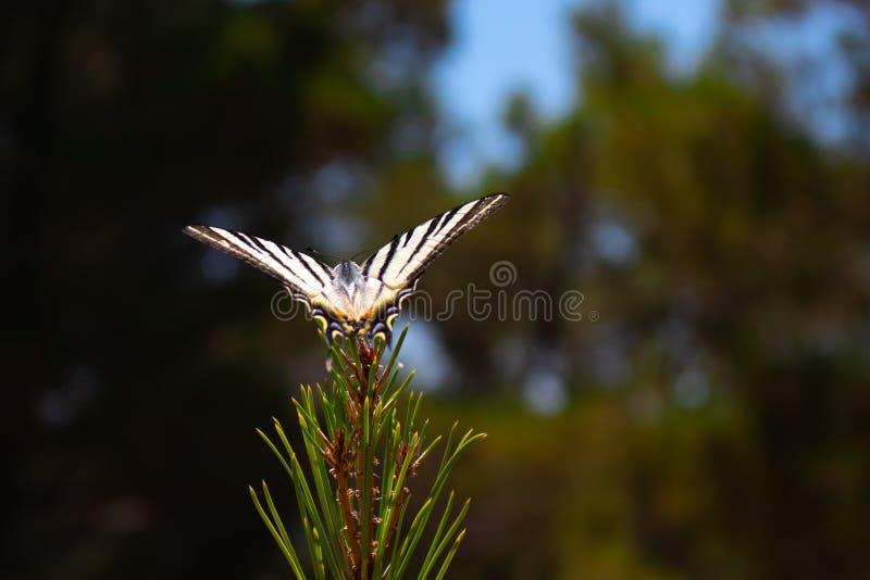En fjäril på en filial arkivbilder