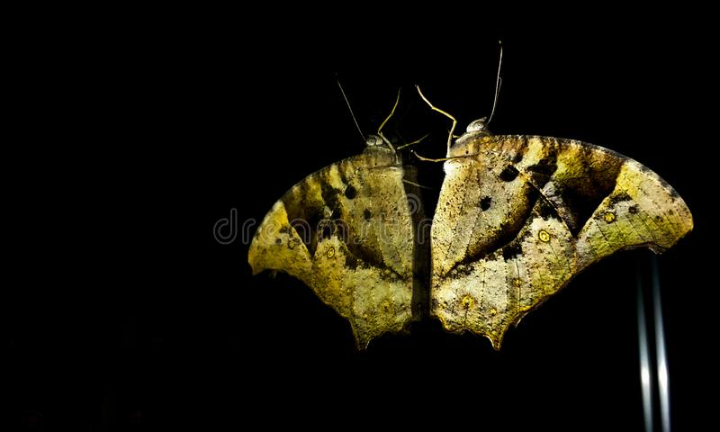 En fjäril på spegeln och seeingsna hans segrade framsida arkivfoto