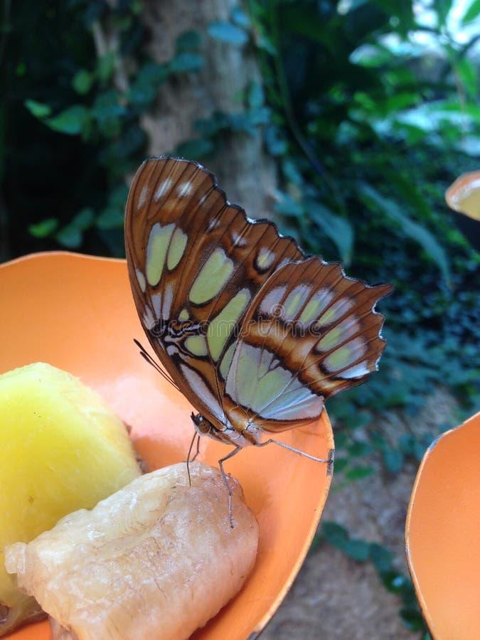 En fjäril som äter bananen royaltyfria bilder