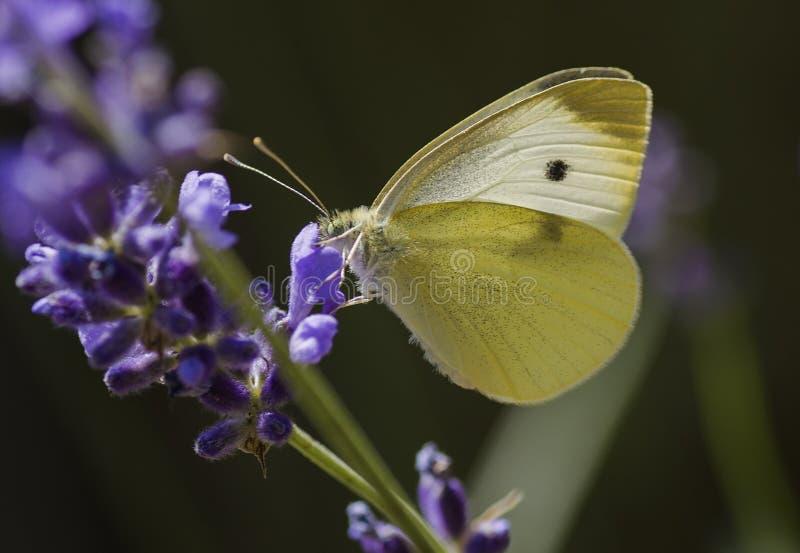 En fjäril som matar på den söta nektaret arkivfoto