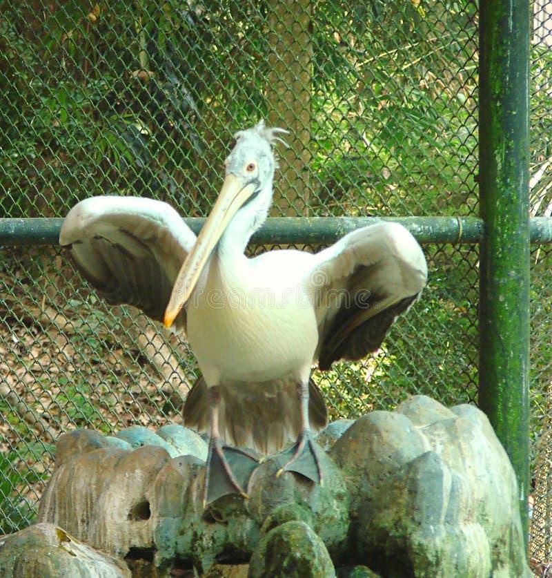 En fläck fakturerad pelikan med spridningvingar arkivbild