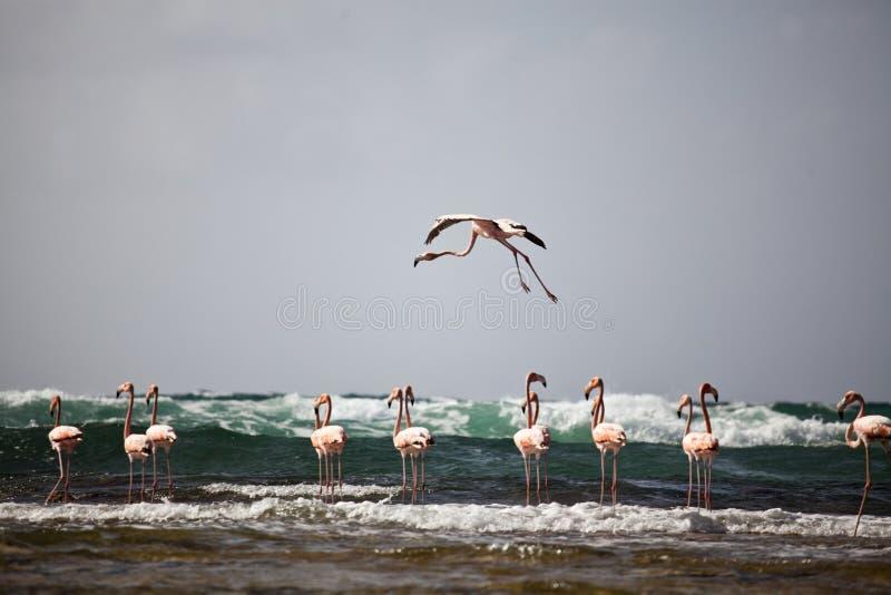 En flamingo i flykten royaltyfri foto
