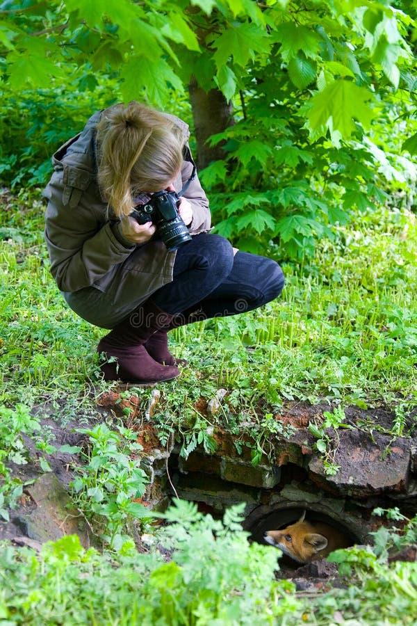 En flicka tar bilder av en räv som ser ut ur nederlag royaltyfri foto