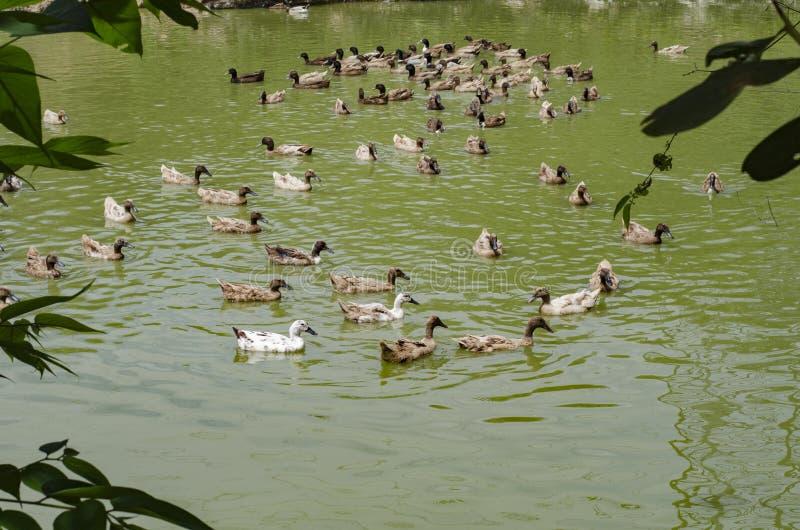 En flock av änder som simmar i dammet på den soliga dagen royaltyfria bilder