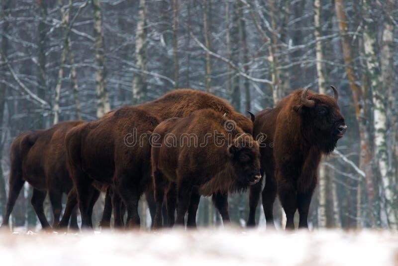 En flock av anseendet för aurochsbisonbonasus på vinterfältet flera stor brun bison på skogbakgrunden Europeisk Bison fotografering för bildbyråer