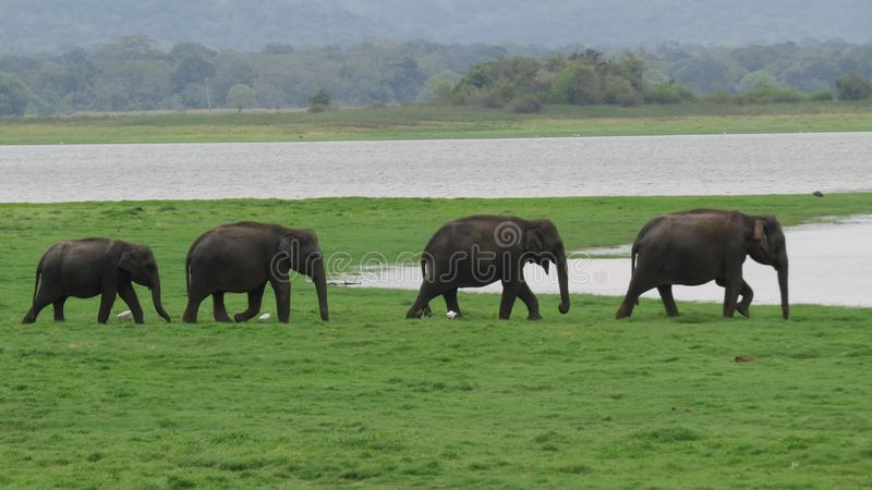 En flock av att marschera för elefanter arkivfoto