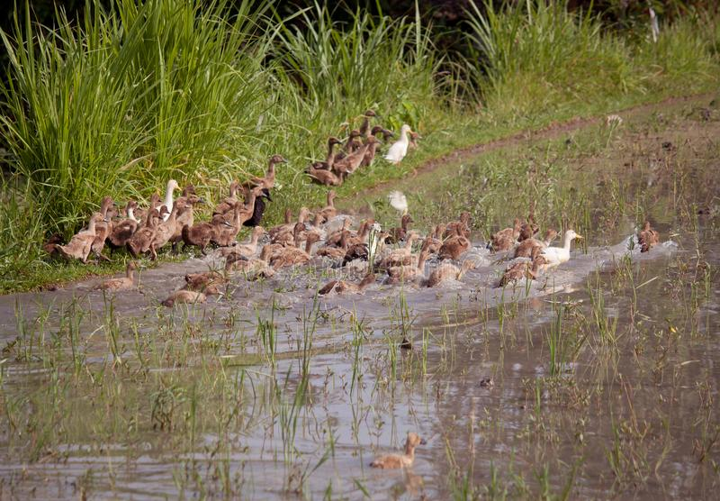En flock av barn duckar simning i ett damm arkivbild