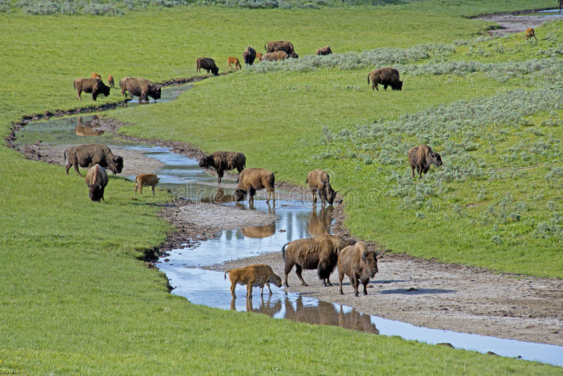 En flock av bisonen som finner dricksvatten i Yellowstone. arkivbilder