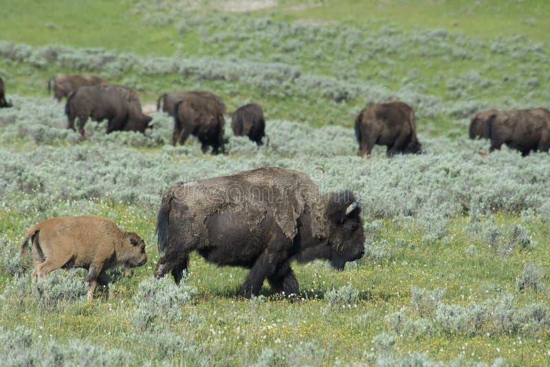 En flock av bisonen som finner dricksvatten i Yellowstone. royaltyfri foto