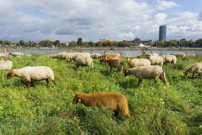 En flock av bruna får som sätta sig i högt gräs på flodstranden royaltyfri fotografi