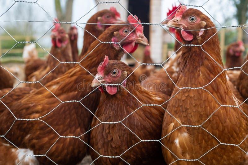 En flock av bruna frågvisa hönor som igenom ses staketet av ett skyddat område royaltyfri foto
