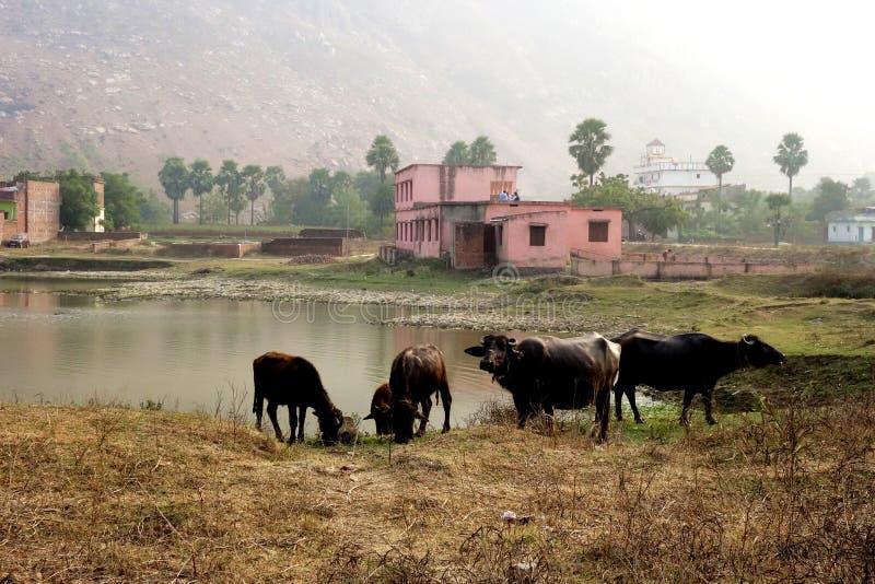 En flock av buffeln på det bevattna hålet royaltyfri bild