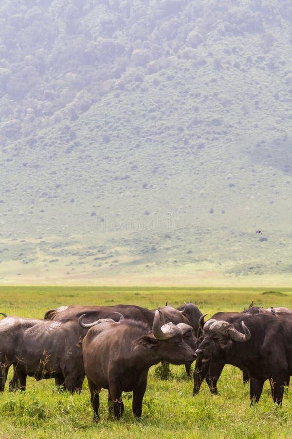 En flock av bufflar inom en vulkan Ngorongoro Tanzania arkivbilder