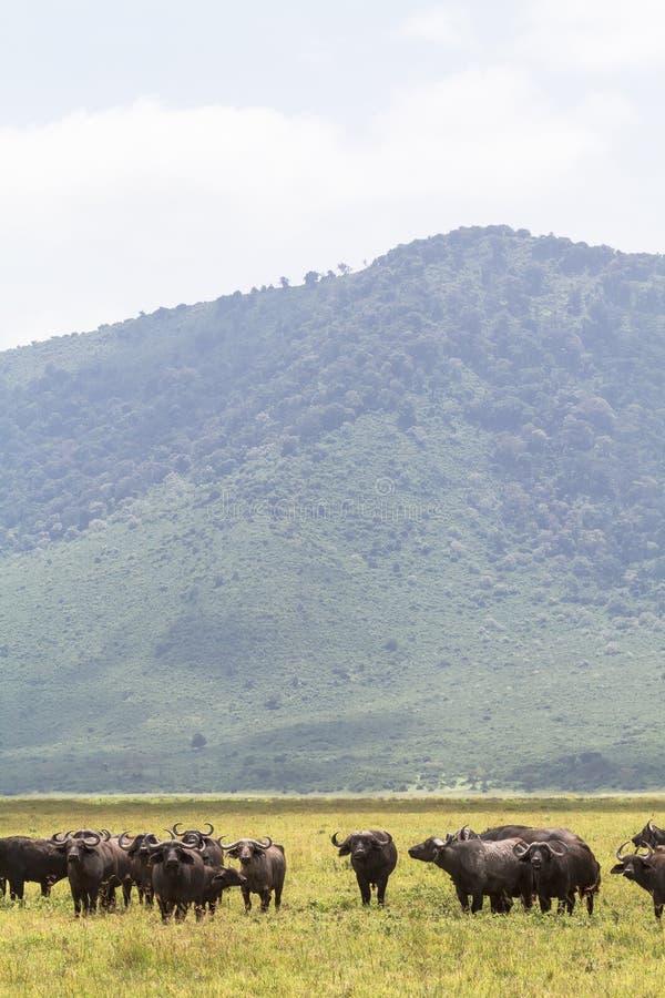 En flock av bufflar inom en vulkan NgoroNgoro Tanzania Afrika fotografering för bildbyråer