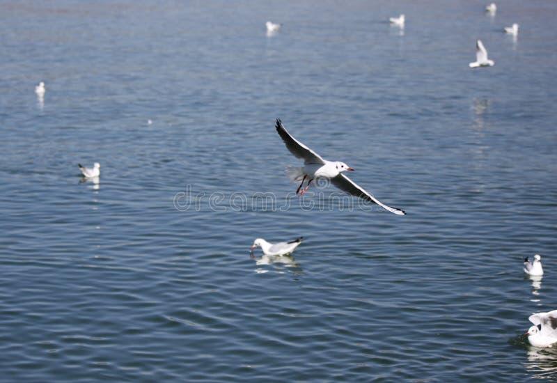 En flock av den ŒSea för havsgullï¼ mjauen, med grå featherï¼ Œflying på sjön royaltyfria bilder
