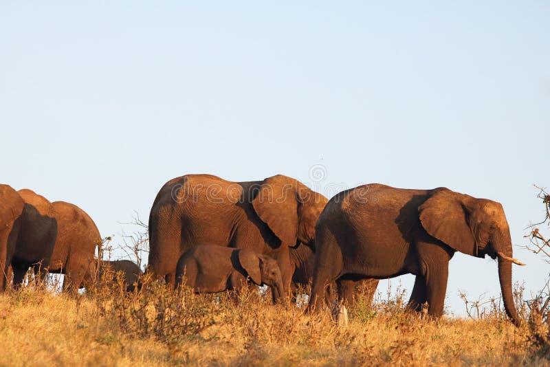 EN FLOCK AV DEN AFRIKANSKA ELEFANTEN MED SPÄDBARN MOT HIMLEN royaltyfri fotografi