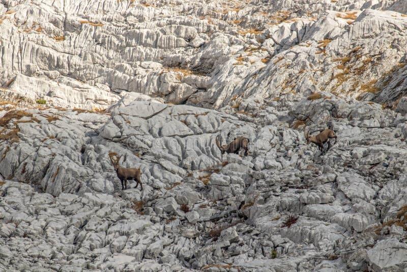 En flock av den alpina stenbocken i Bohinj arkivfoton