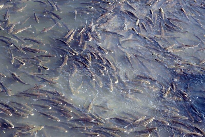 En flock av den enorma flodfisken i den Douro floden i staden av Porto Stimer av fisken fotografering för bildbyråer