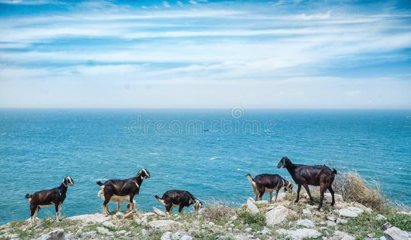 En flock av den inhemska geten som strövar omkring på kust- klippor som förbiser havet fotografering för bildbyråer