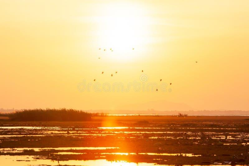 En flock av det Lesser Whistling-Duck flyget mot guld- solinställning över sjön i sommar arkivfoton