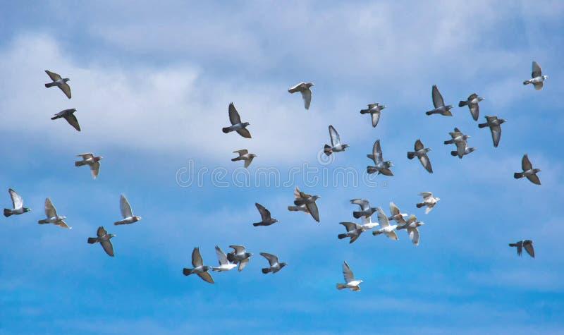 En flock av duvor i flykten mot en blå himmel royaltyfria bilder
