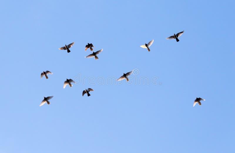 En flock av duvor i himlen arkivfoto