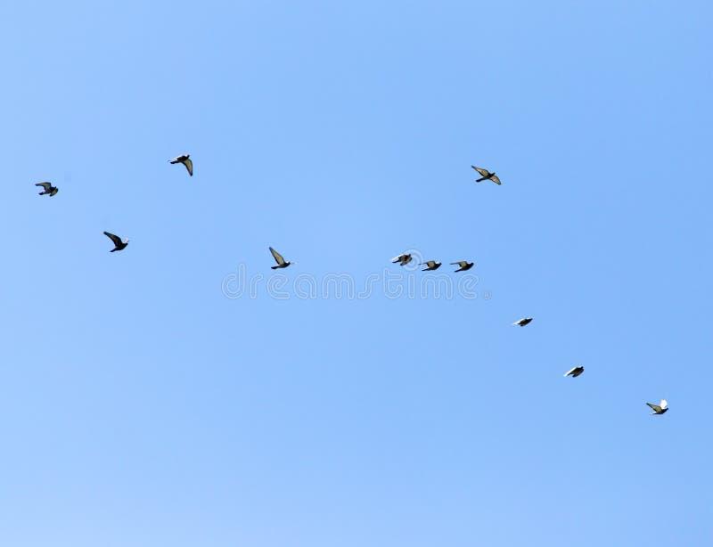 En flock av duvor i himlen arkivbild