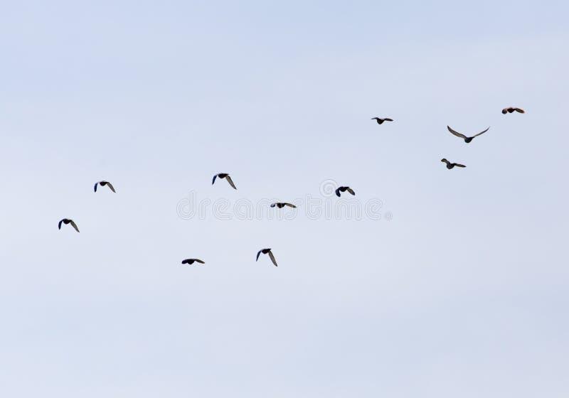 En flock av duvor i himlen royaltyfria foton