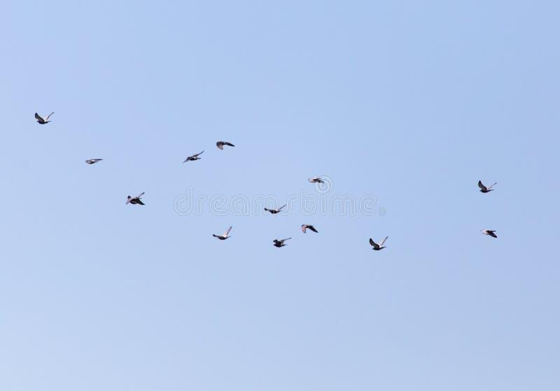 En flock av duvor i himlen arkivfoton